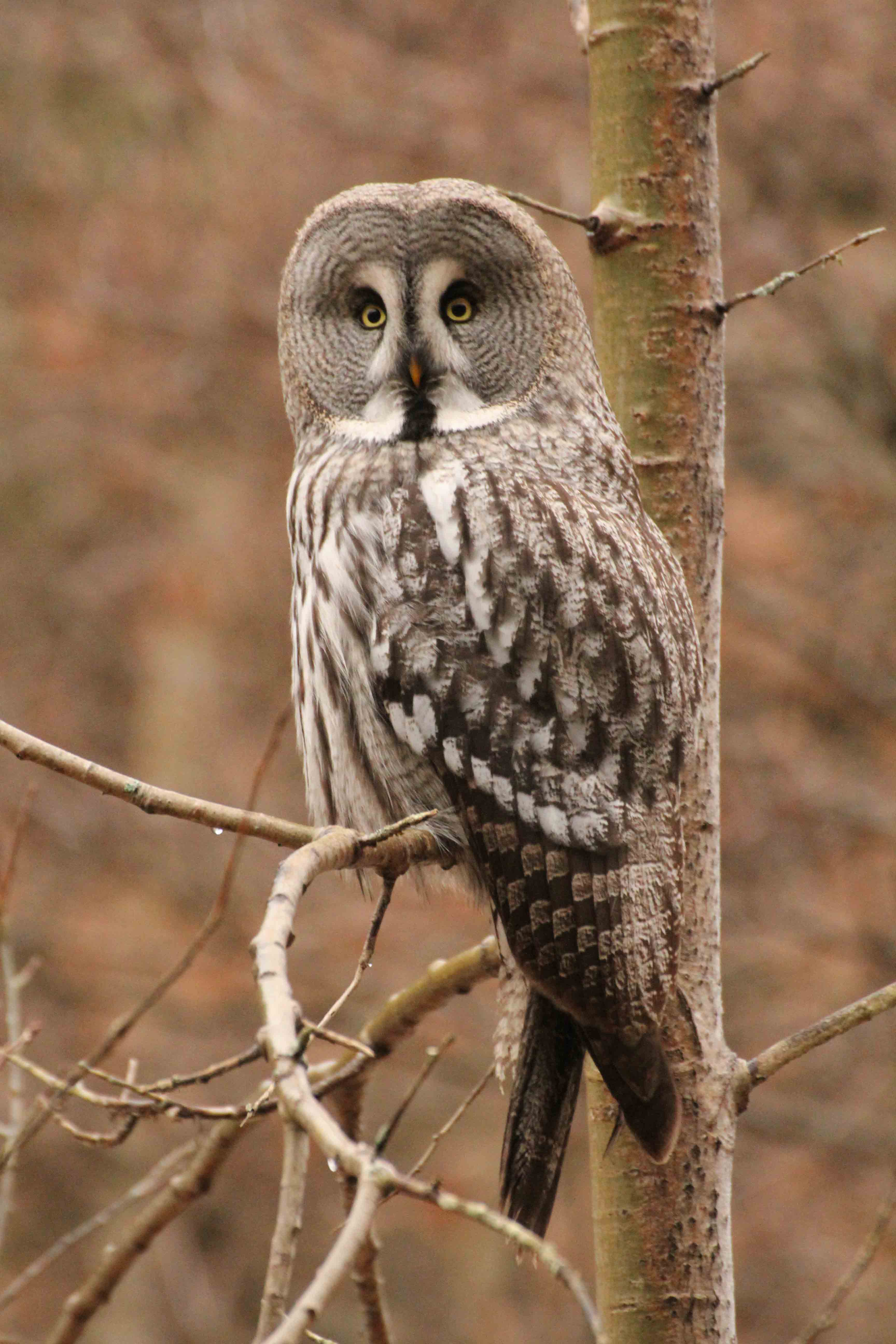 great gray owl facts - HD3456×5184