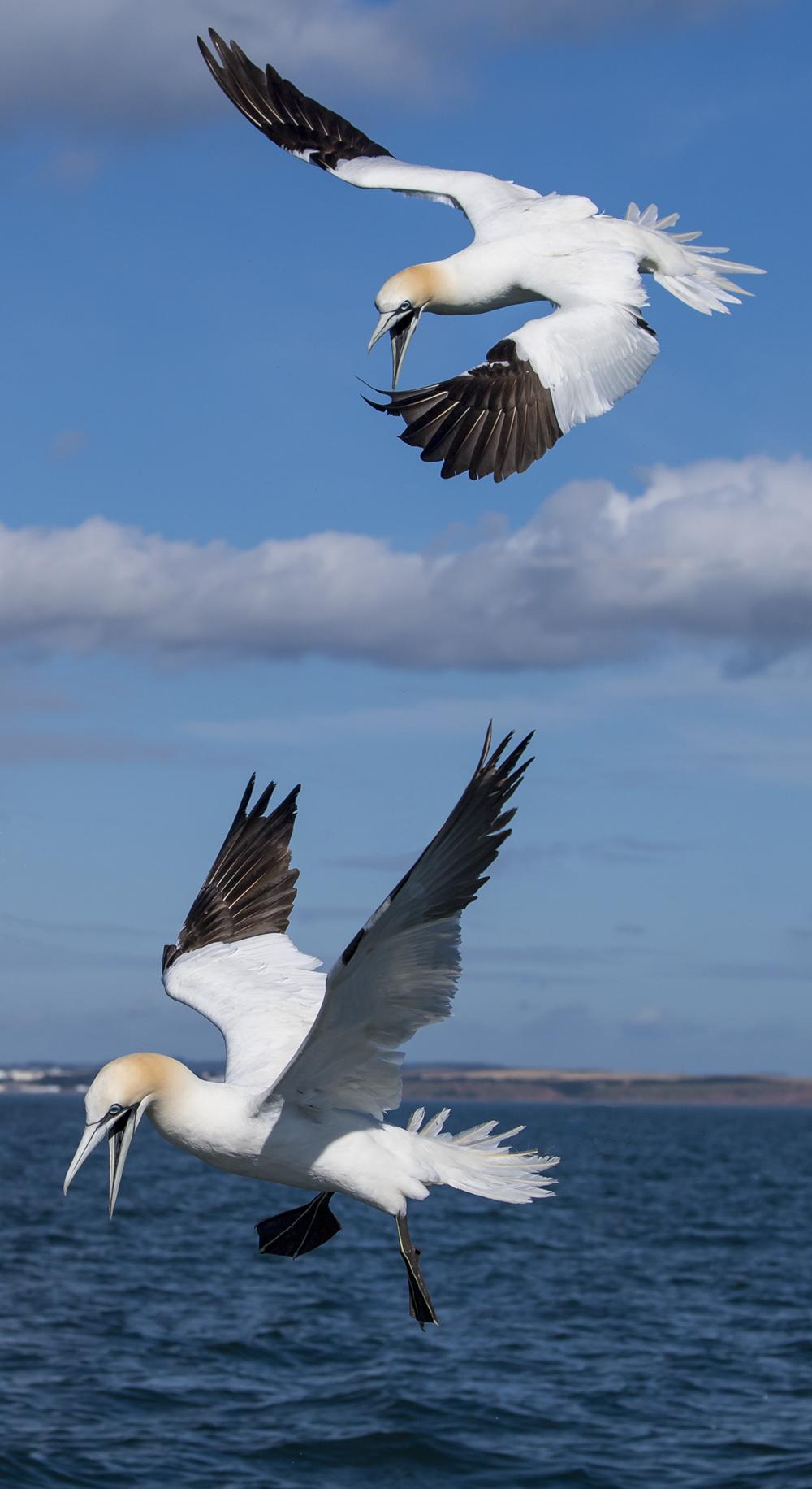 Northern Gannet by Martyn Jones - BirdGuides